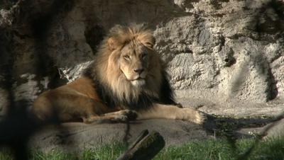 lion kills worker after escaping locked area at conservatory