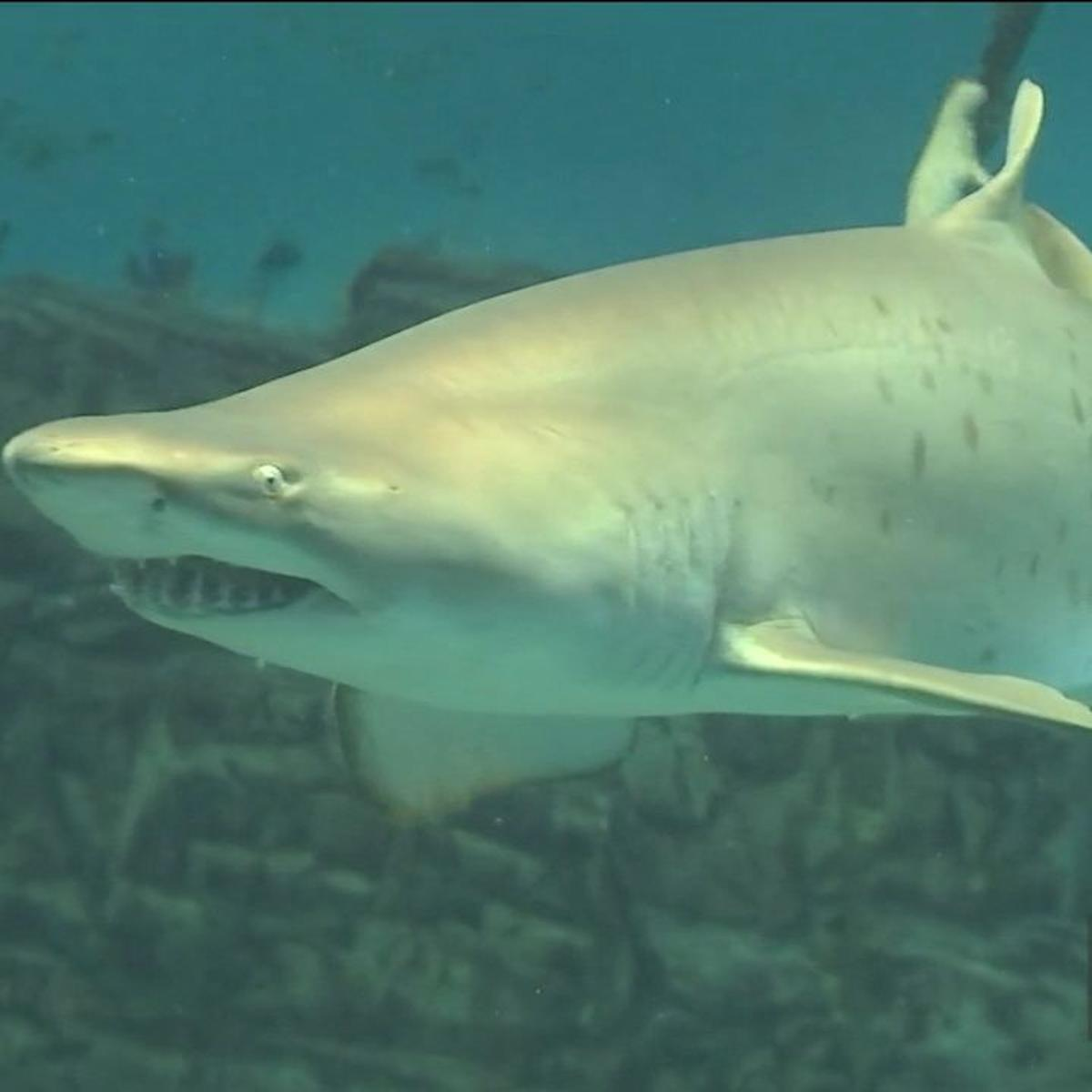 Experts weigh in after great white tracked in LI Sound ahead of