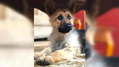 This 2-year-old German Shepherd  will look like a puppy forever due to a rare condition