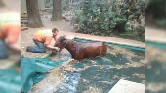 Horse escapes wildfire, jumps into backyard pool