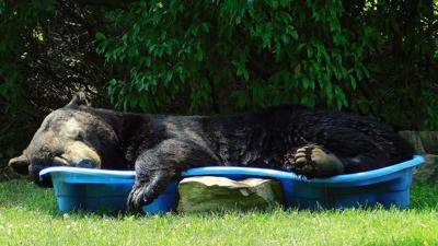 Huge black bear spotted relaxing in a pool is one big summer mood
