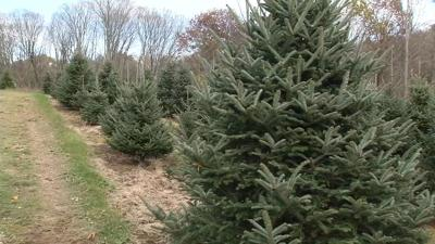experts explain the best time to buy a christmas tree wfsb