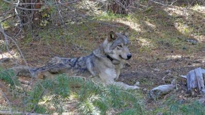 A gray wolf that wandered 8,712 miles -- probably seeking a mate or a new pack -- has died in California