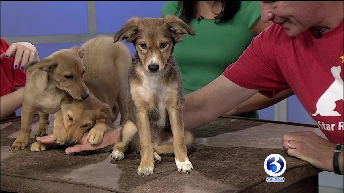 Lost & Pound: Jack Russell Doxen Mix Puppies