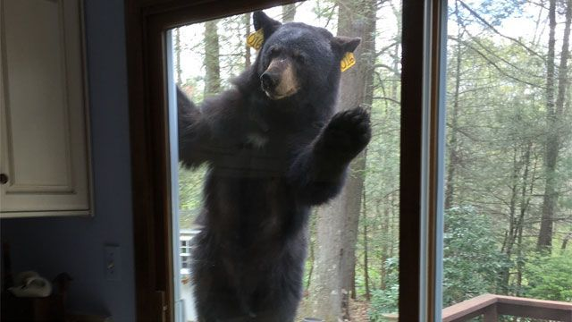 Avon neighbors call police after bear tries to get in homes