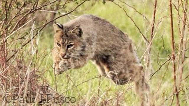DEEP urges people to be on the lookout for bobcats