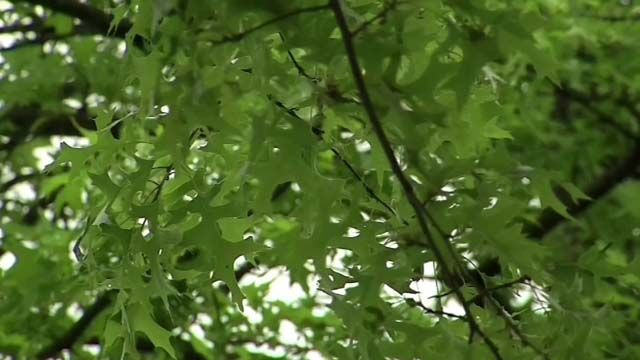 Gypsy moths expected to return to state, damage trees