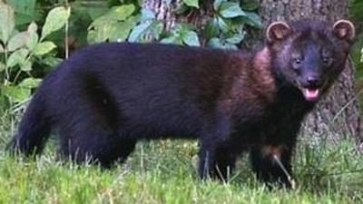 West Haven residents concerned over fisher cats