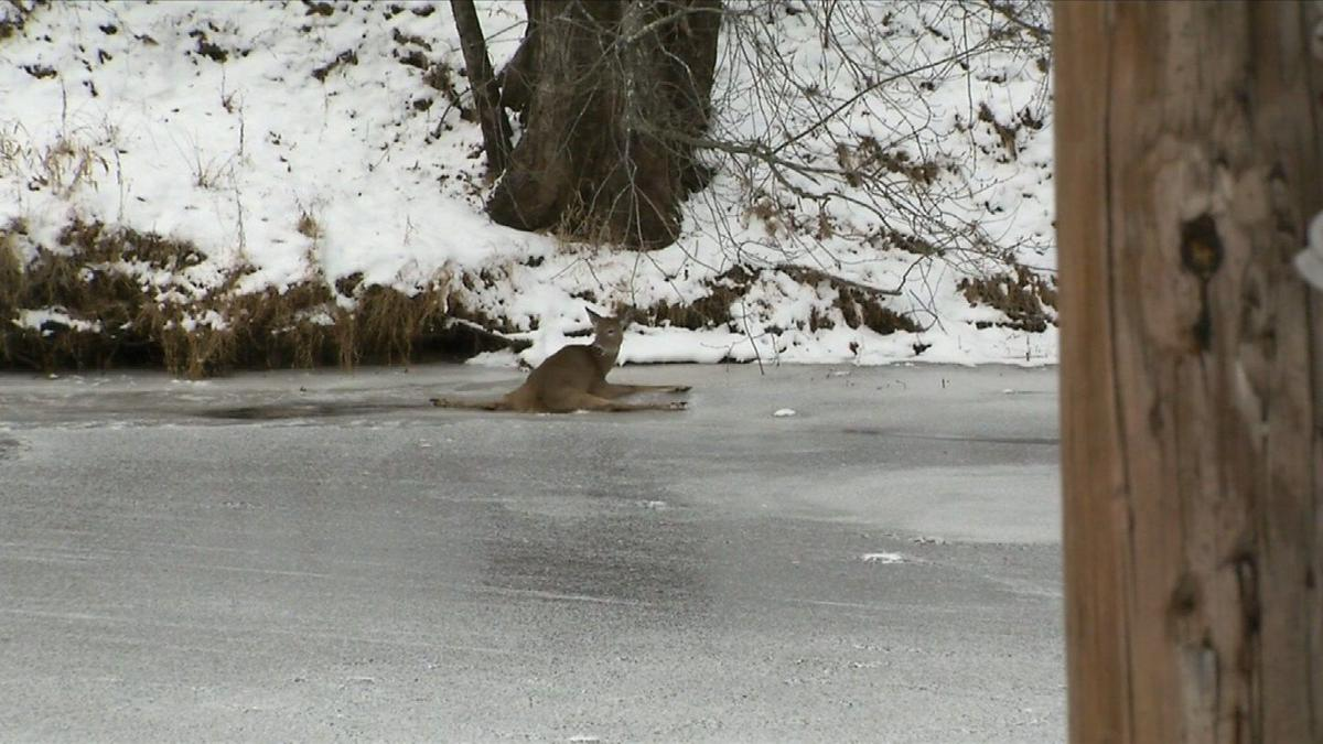 Deer rescued after being trapped on ice in Simsbury