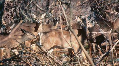 Deer a danger to drivers in November more than any other month