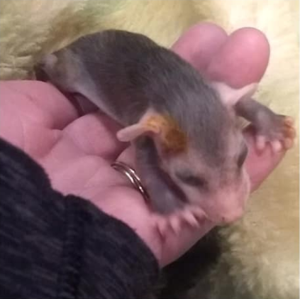 Watertown police officer rescues baby opossums after an