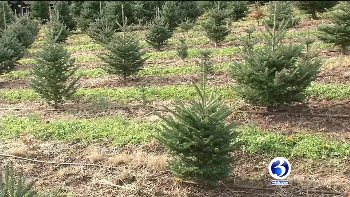 VIDEO: Experts explain the best time to buy a Christmas tree