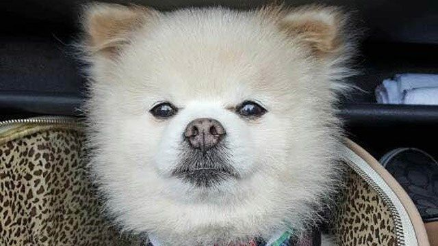 Pomeranian pilfered from car in Wallingford has been found