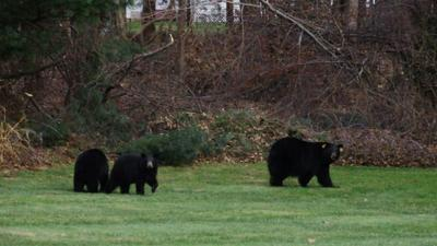Simsbury's animal control offers tips if you come across a bear