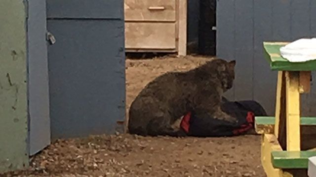 DEEP: Bobcat that attacked people in Colchester tests positive for rabies