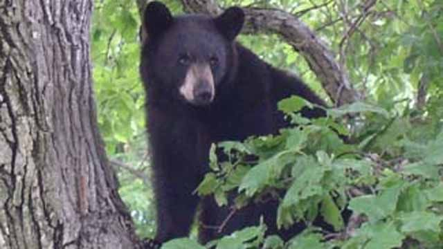 North Haven urging neighborhood vigilance after bear sighting