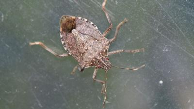 Close-Up Of Brown Marmorated Stink Bug