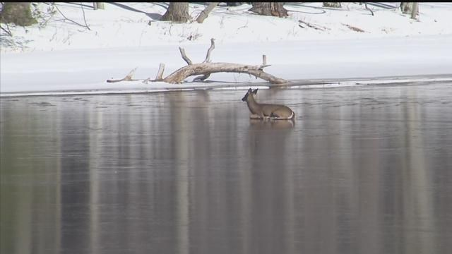 Deer stuck on ice, able to rescue itself