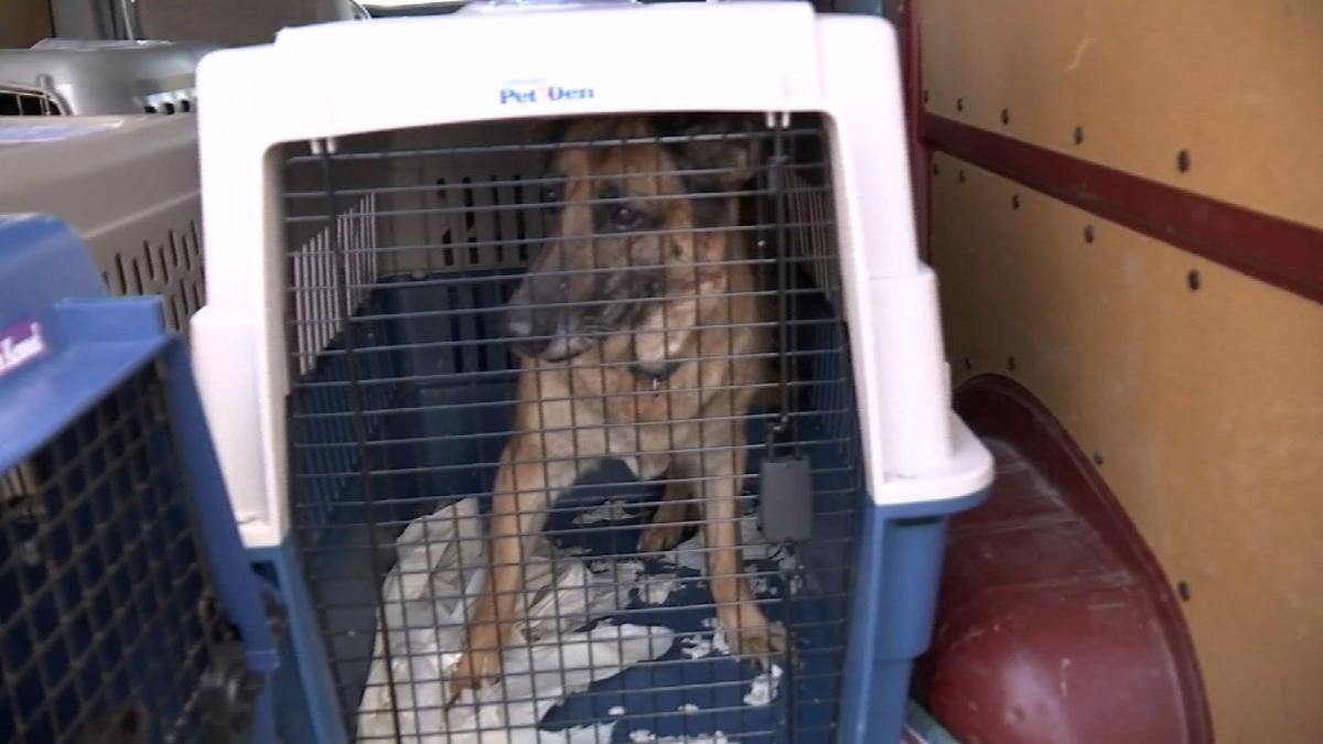 Channel 3 cameras were rolling when rescued dogs from Irma landed in Connecticut