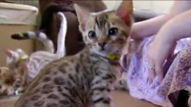 CDC says don't cuddle with your kittens