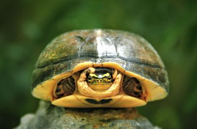Turtle hiding in his shell, Medan, Indonesia