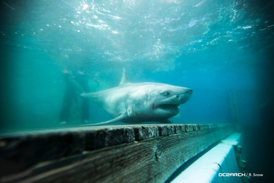 Great white shark tracked off coast of CT