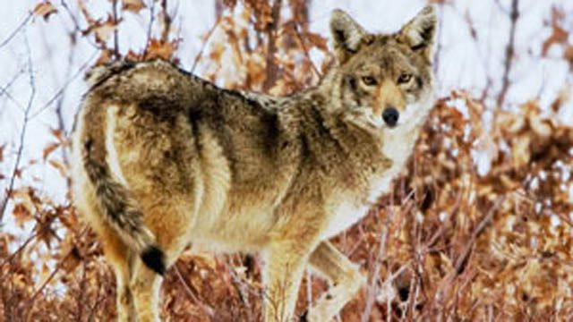 Connecticut shore town receives reports of sickly coyotes