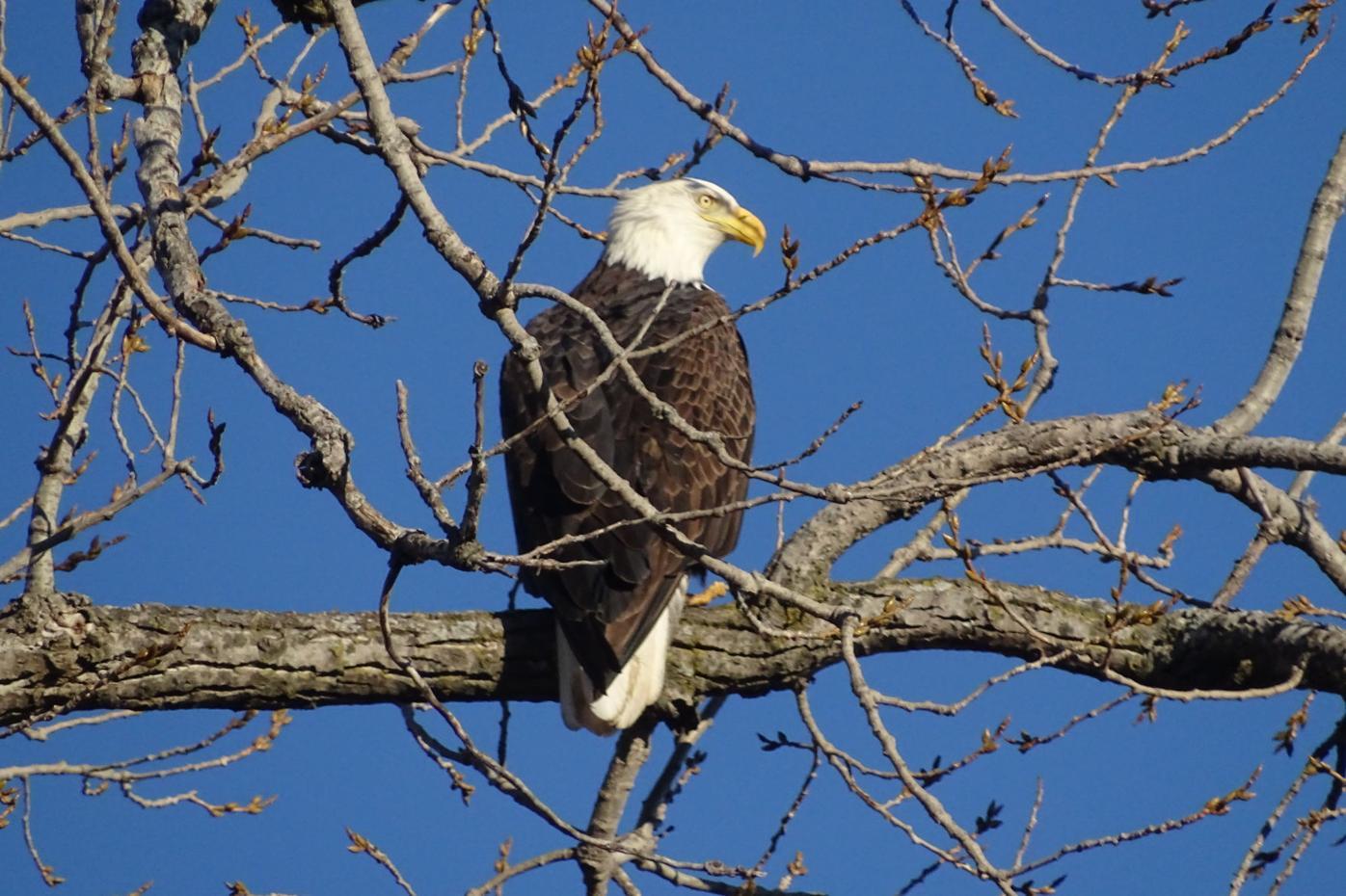 Bald eagle at Quinsippi Island