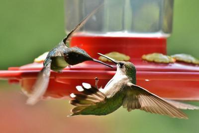 Hummingbirds_31437.jpg
