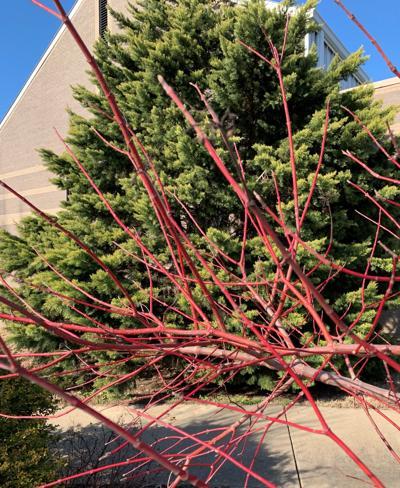 Red Twig Dogwood Cayenne