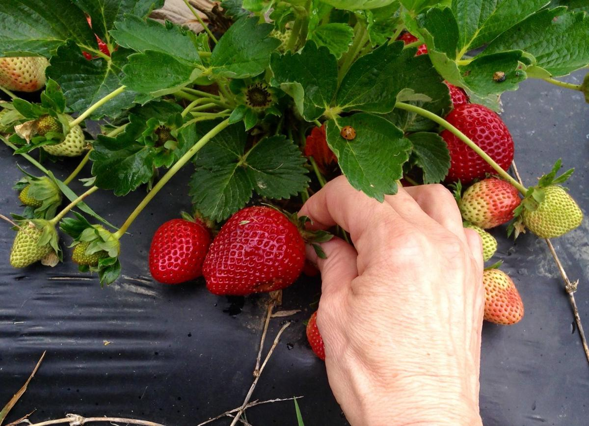 Tennessee Department of Agriculture Strawberries