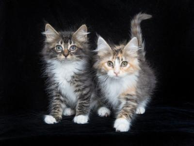 6-15-18-two-kittens