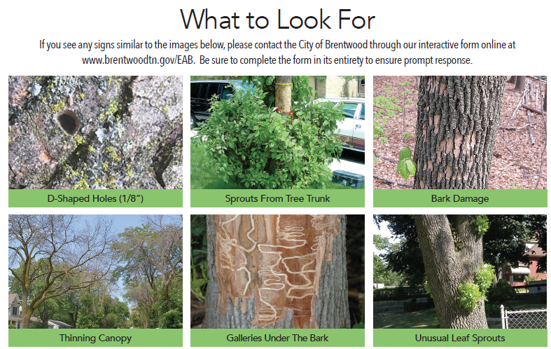 Emerald Ash Borer What to look for