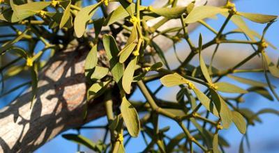 A Homegrown Tradition Mistletoe Friend Or Foe Columnists