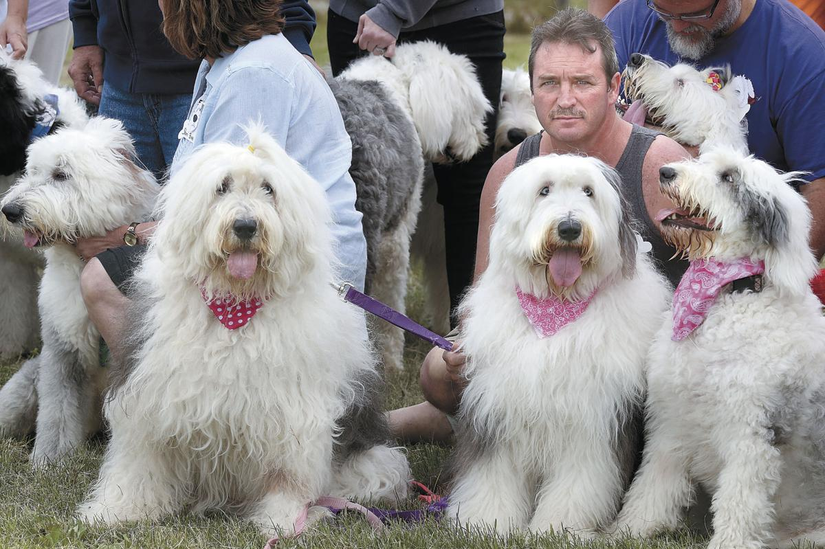 Old English sheepdog picnic a shaggy, good-natured affair
