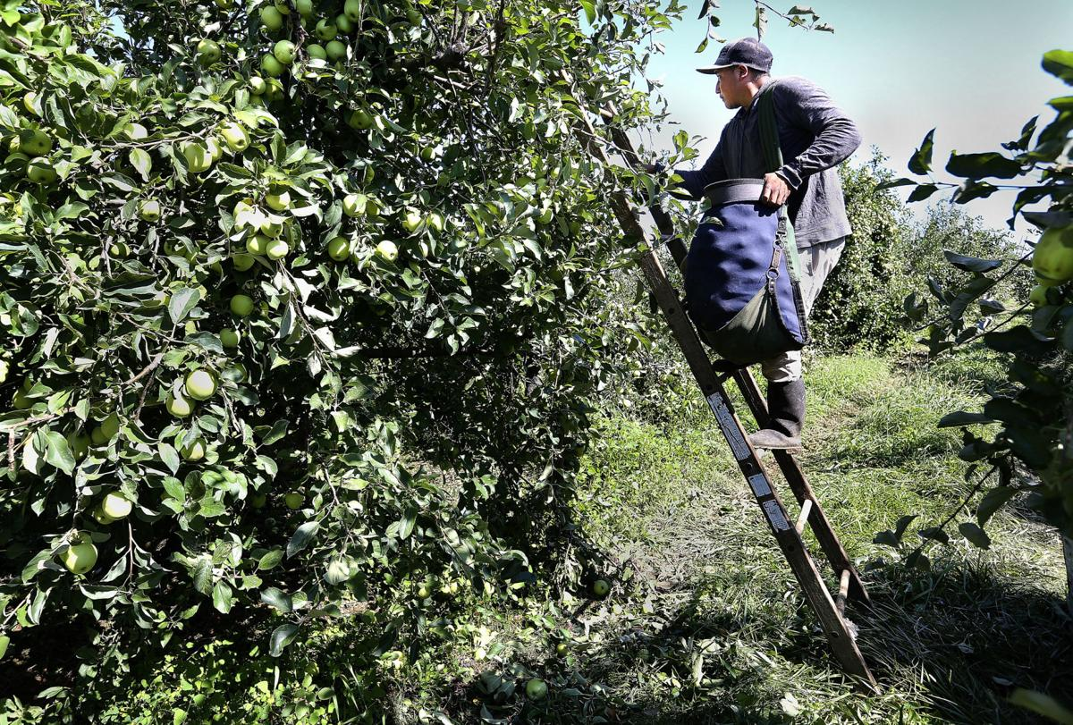 Apple Harvest 2021