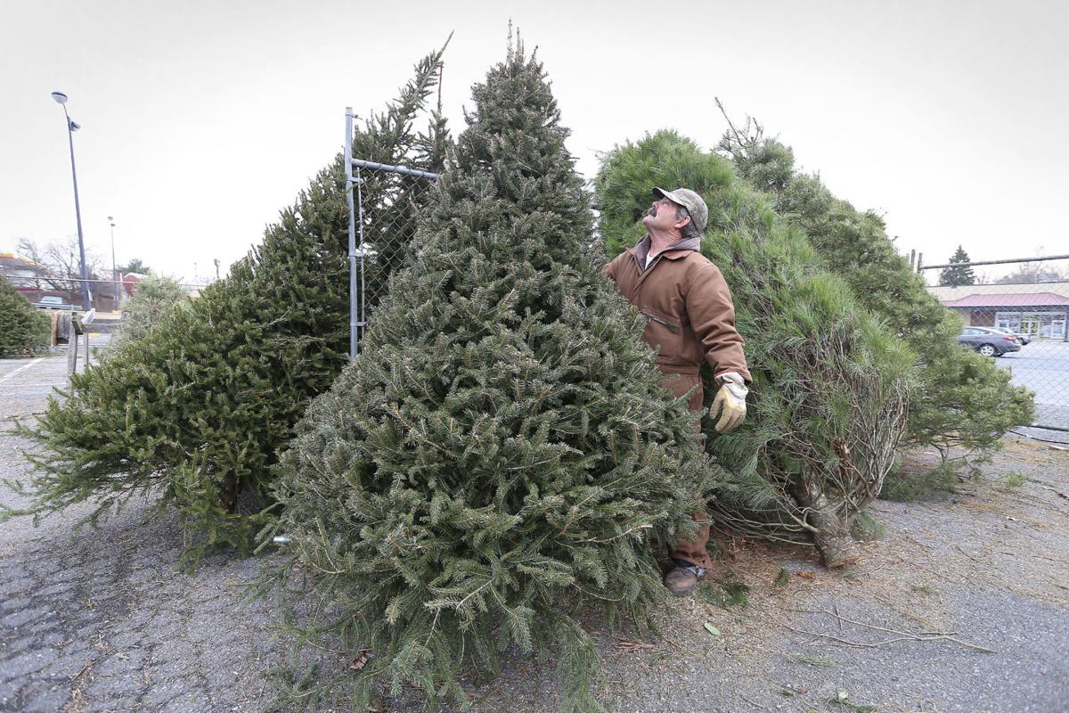 Christmas tree sales steady despite