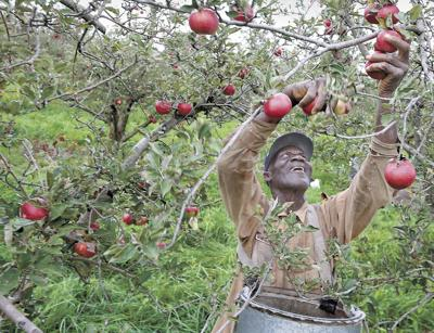 Apple growers: Trade war likely to bear bad fruits