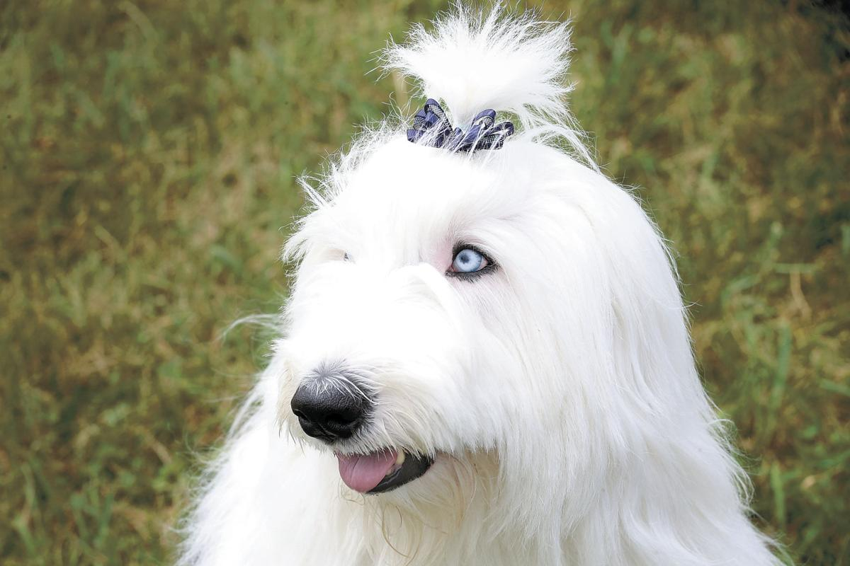 Old English sheepdog picnic a shaggy, good-natured affair