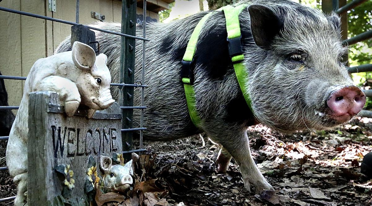 Pig Sanctuary