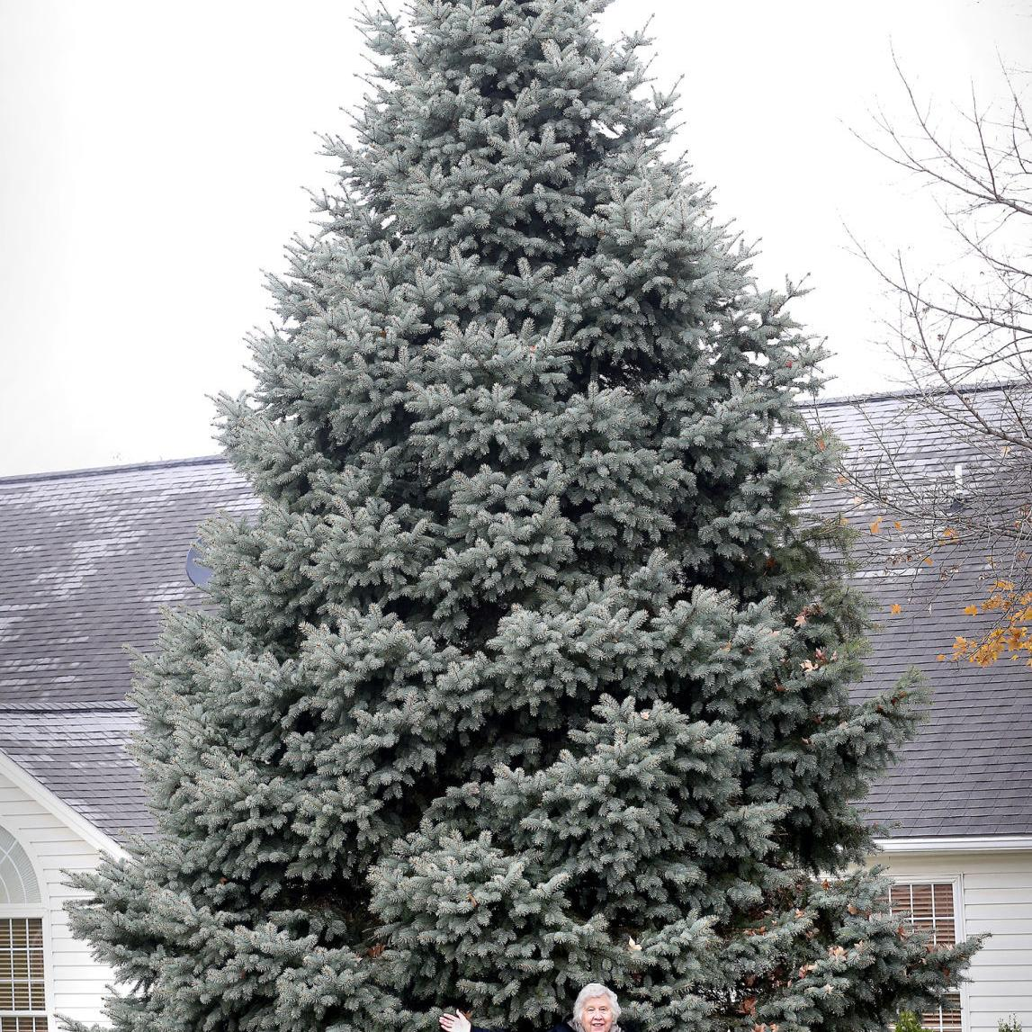 Towering blue spruce to be city's Christmas tree