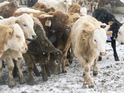snow cattle