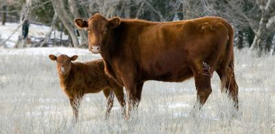 Plan now to assure successful calving season