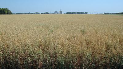 Reduce risk of nitrates in oat hay