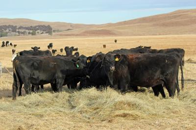 Limit feeding cows corn as an alternative to hay