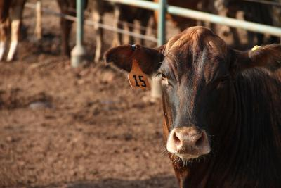 More, heavier cattle placed in October