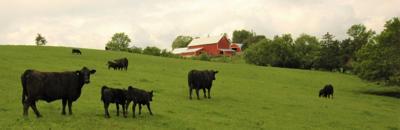 cow-calf pairs generic