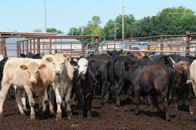 Plenty of feedlot cattle to start 2018