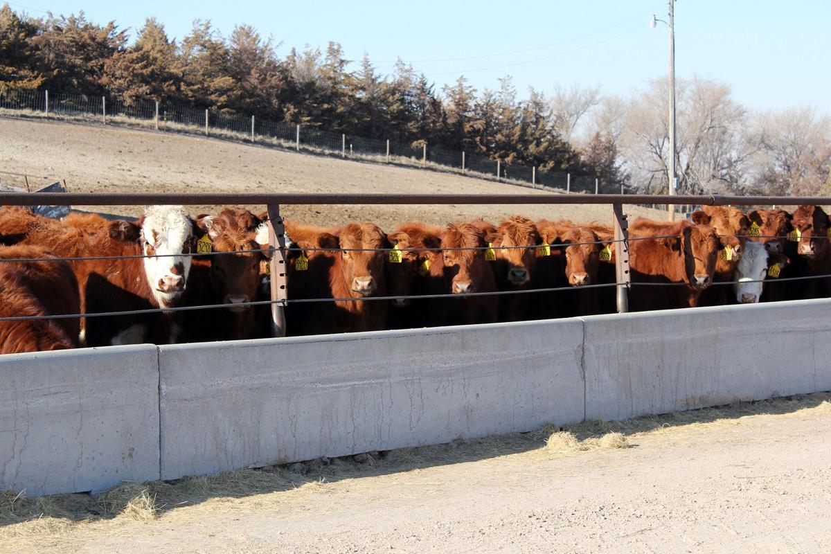 Weighing the costs and benefits of preconditioning calves