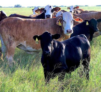 Scientists investigate mysteries of puberty in heifer calves